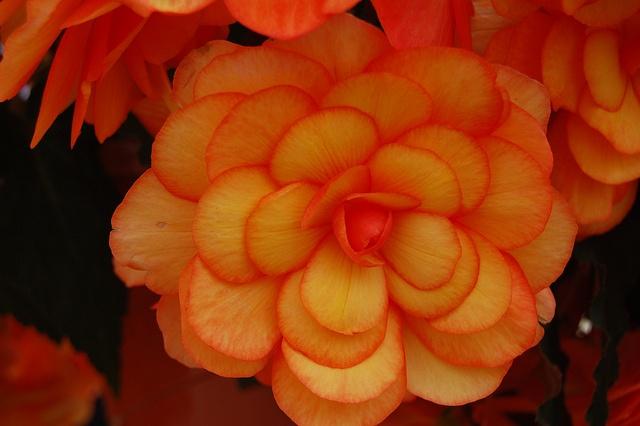 """Flower Power    'Arcada Apricot Bicolor"""" begonia @ Ecke Ranch"""