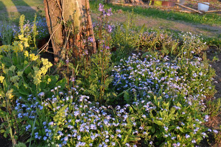 Blå rabatten i maj. Förgätmigej och gullviva. #trädgård #garden
