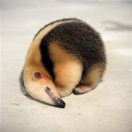 Baby ant eater... could cuddle this one!
