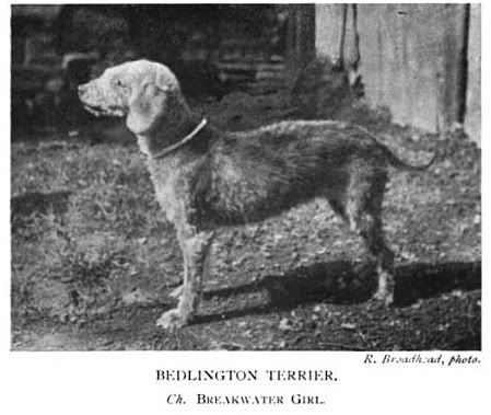 1904 Bedlington Terrier