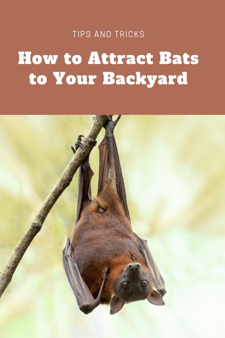 Attract bats to your backyard with these easy steps in