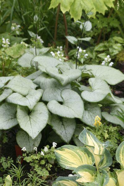 Forglemmegeisøster - Brunnera macrophylla 'Looking Glass' - Garden Living