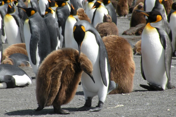 King Penguin grooming his chick in Antartica.
