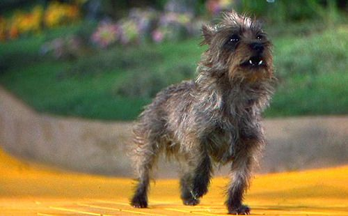 """TOTO (aka Terry) the little female black Cairn terrier who played """"Toto"""" inThe Wizard of Oz(1939) was born on November 17, 1933.Terry became so beloved for her role in The Wizard of Oz, her name was officially changed to Toto in 1942."""