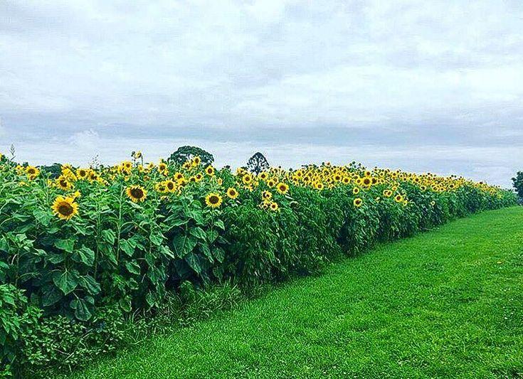 いいね!3,613件、コメント178件 ― The Farm At Byron Bayさん(@thefarmatbyronbay)のInstagramアカウント: 「🌻 Sunflowers for days. Our giant Sunflowers bloom throughout Summer so come down and see them soon!…」