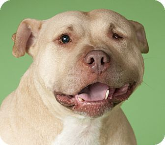 ***DOG FIGHTING SURVIVOR NEEDS FOREVER HOME!!! Chicago, IL - American Pit Bull Terrier Mix. Meet Bunny, a dog for adoption. http://www.adoptapet.com/pet/11731480-chicago-illinois-american-pit-bull-terrier-mix