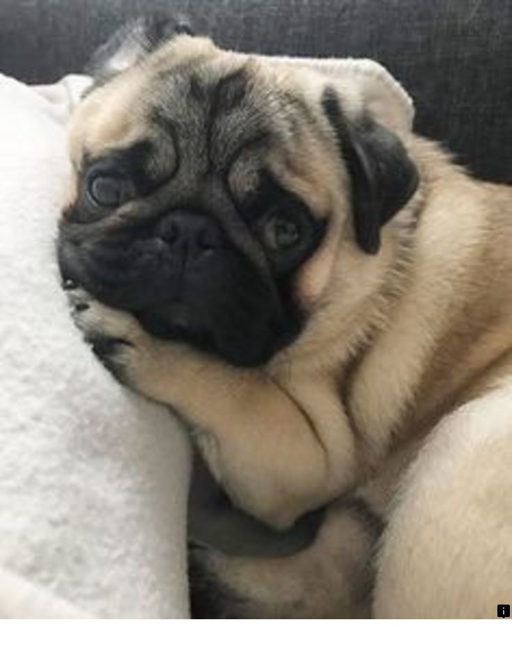 Learn More About Pug Cross Puppies For Sale Just Click On The