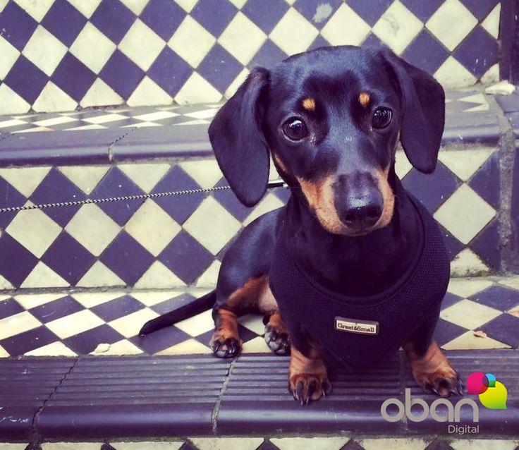 Peggy is a Gorgeous girl #dachshund #OfficeDog