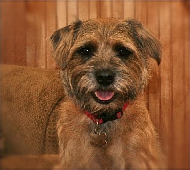Pippen - Border Terrier
