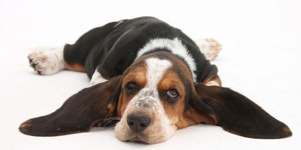 Como limpar as orelhas dos cães » Cães Online