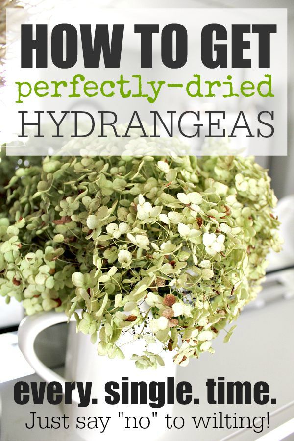 How to get your hydrangeas to dry perfectly so that they never wilt and turn out perfectly every time!