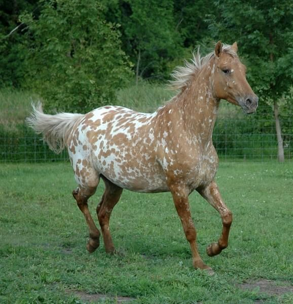 Horses for sale - Appaloosa Horse Germany Just horse For sale appistude