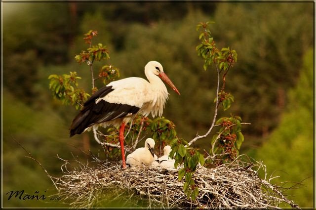 https://flic.kr/p/84LiFb | Hogar dulce hogar | Una abnegada madre cuidando de los polluelos que le quedan, otro apareció en el suelo