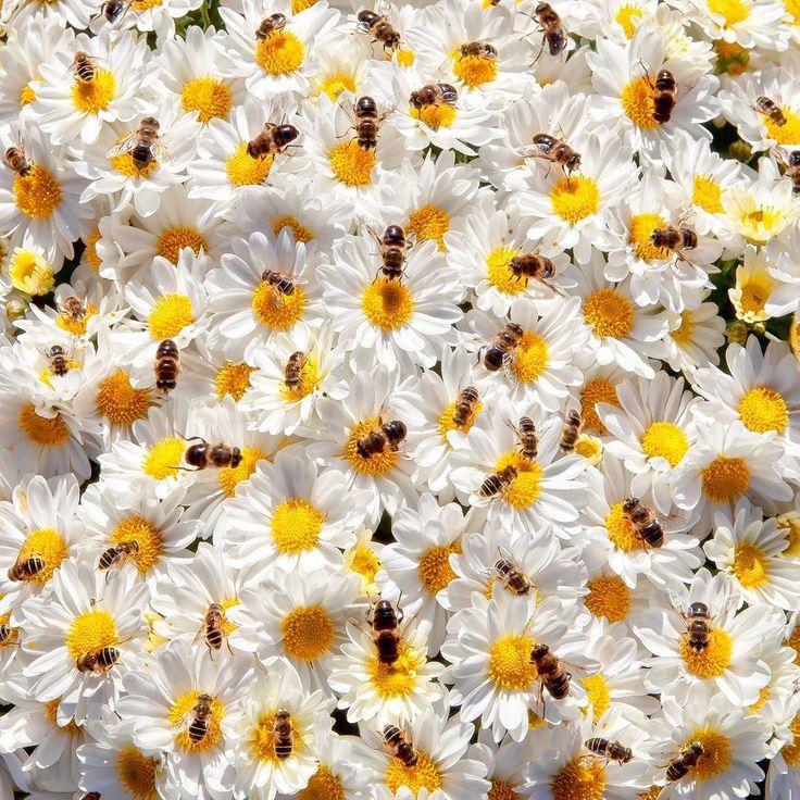 """В 1973 году австрийскому зоологу Карлу Фришу была присуждена Нобелевская премия за расшифровку """"языка"""" пчел🐝, своеобразного """"танца"""". Оказалось, что пчела-разведчица своим танцем сообщает сородичам всю информацию, необходимую для отыскания нового источника корма. Информационными элементами """"танца"""" являются: направление и длина пробега по соту, форма пробега (круг или восьмерка), частота виляния брюшком, а также запах пищи, которым она пропиталась. Круговые пробеги - это информация о том, что…"""