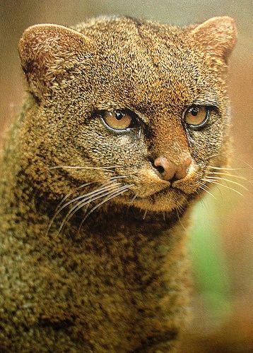 O Jaguarundi - um gato original ameaçado de extinção que vive ao longo da fronteira Texas-México.