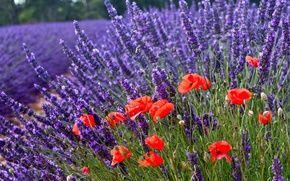 Обои боке, маки, цветы, лаванда, природа
