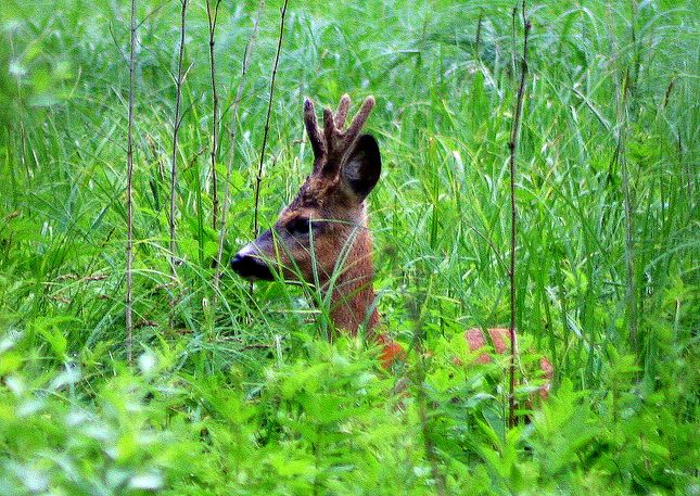 Białowieża National Park a deer in the woods.