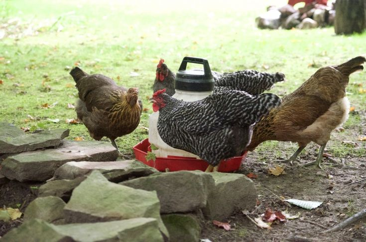4 Reasons to Build Your Chicken Coop in Shade   Chickens ...