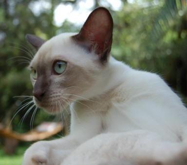 Burmese cat 101