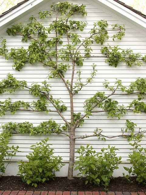 Espalier...love it - against the back of the garage?  lots of sun