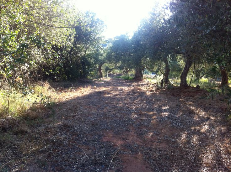 Running through the olive groves