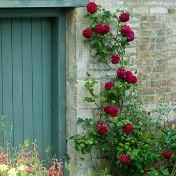 Tess of the d 39 urbeilles david austin climbing rose - Plantas trepadoras para muros ...