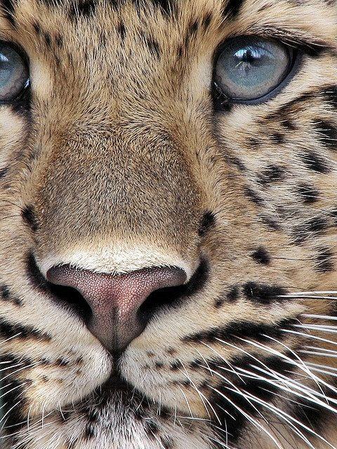 Close up of Leopard.
