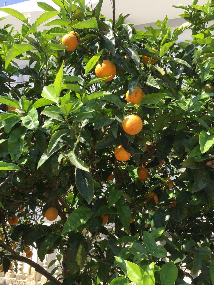 Staan overal sinaasappelbomen en citroenbomen