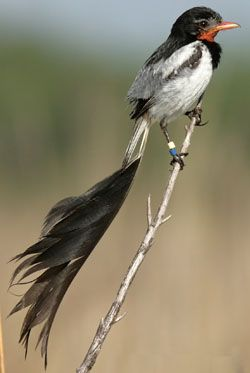 Strange-Tailed Tyrant. Argentina, Paraguay, Uruguay, Brazil. Fat Birder for Argentina FormosaBR