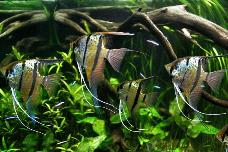 Scalare rio nanay guppy aquarium pinterest for 405 tropical fish