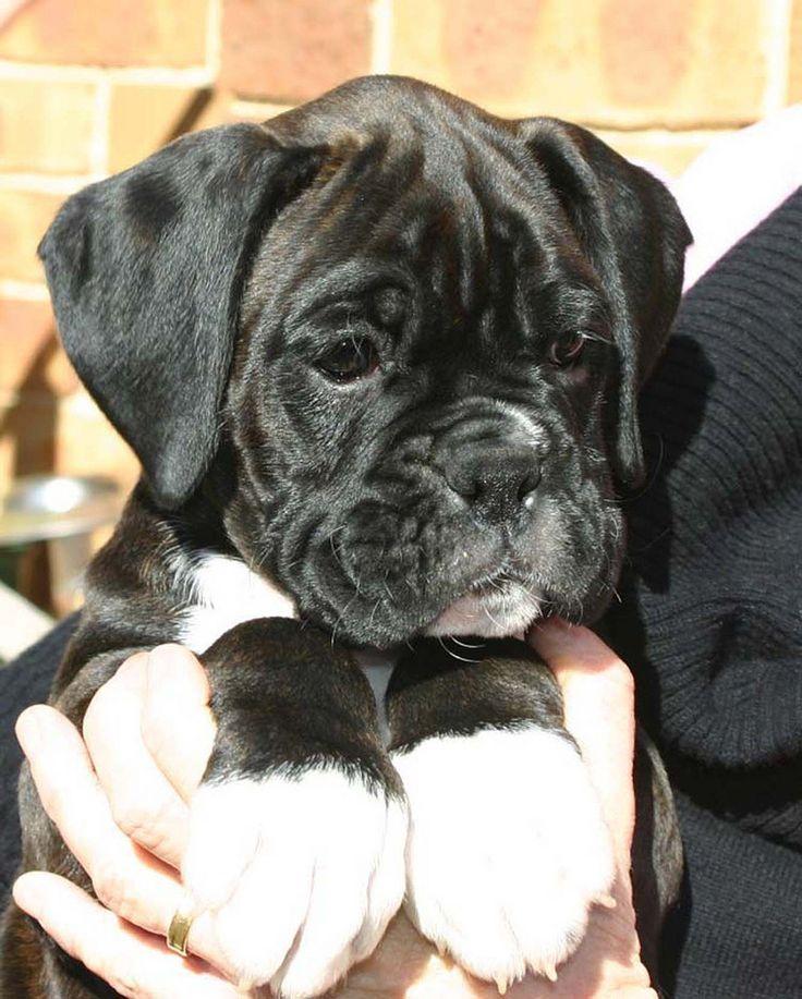 https://flic.kr/p/6J3RGu | Dark Brindle Male 8 weeks old | Teddy the boxer puppy