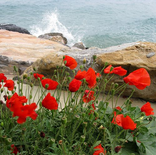 Poppies on the sea by ludi_ste, via Flickr