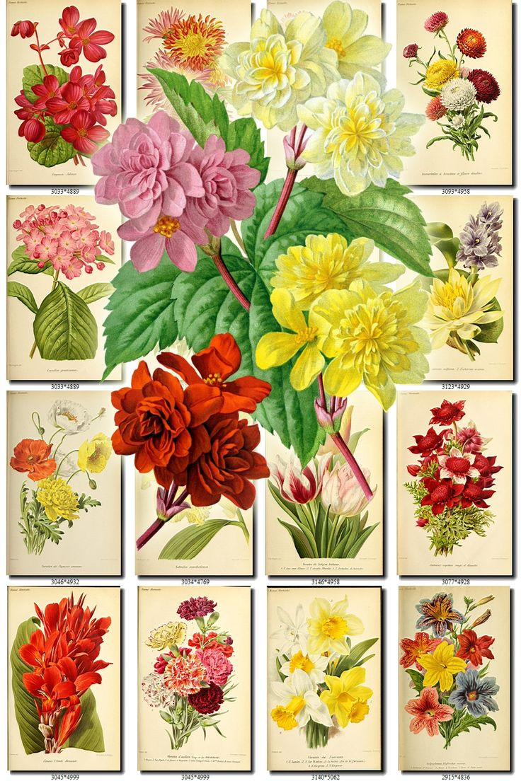 FLOWERS-142 Collection of 200 vintage images Begonia Chrysanthemum Lily Canna Anemone botanical pictures High resolution flower digital by ArtVintage1800s on Etsy