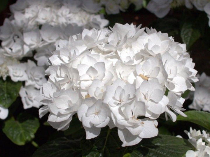 17 best images about hortensien on pinterest ps hydrangeas and cleopatra