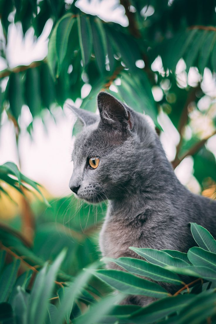 russian blue cat on green grass during daytime в 2020 г