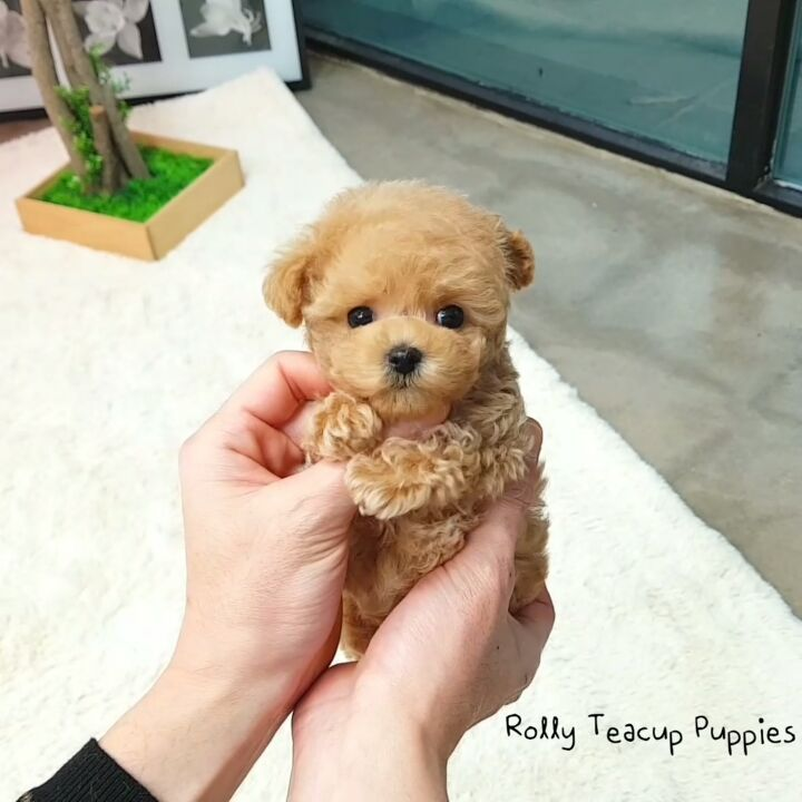 Happyweekend Felizsabado Cute Puppylove Linda いいね 16 5千件 コメント451件 Rolly Pups Inc さん Rollytea Cute Dogs And Puppies Cute Puppies Teacup Poodle Puppies