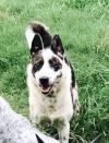Perro australiano del ganado / perro azul de Heeler: Benton