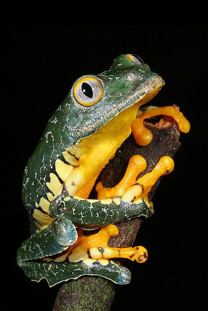 La rana de hoja amazónica (Cruziohyla craspedopus)1 es una especie de anfibios de la familia Hylidae.2  Habita en la cuenca amazónica de Brasil, Colombia, Ecuador, Perú y posiblemente en Bolivia, en altitudes entre 50 y 600 m. Sus hábitats naturales incluyen bosques tropicales o subtropicales secos y a baja altitud y marismas intermitentes de agua dulce