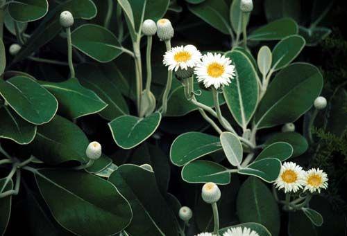 marlborough rock daisy - Google Search