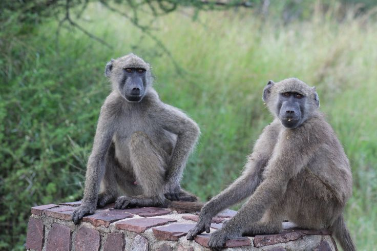 Kruger National Park South Africa, if you wish to visit us, contact me at krugerdrives@gmail.com.  Baboons