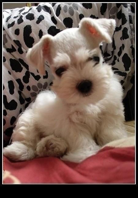 Schnauzer pup!