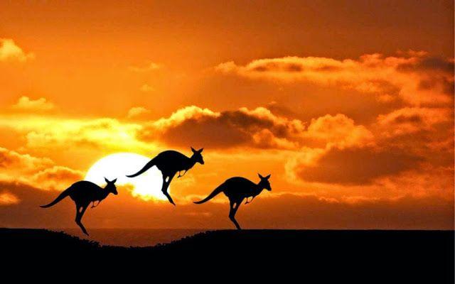 Amazing Kangaroos in Sunset - Australia