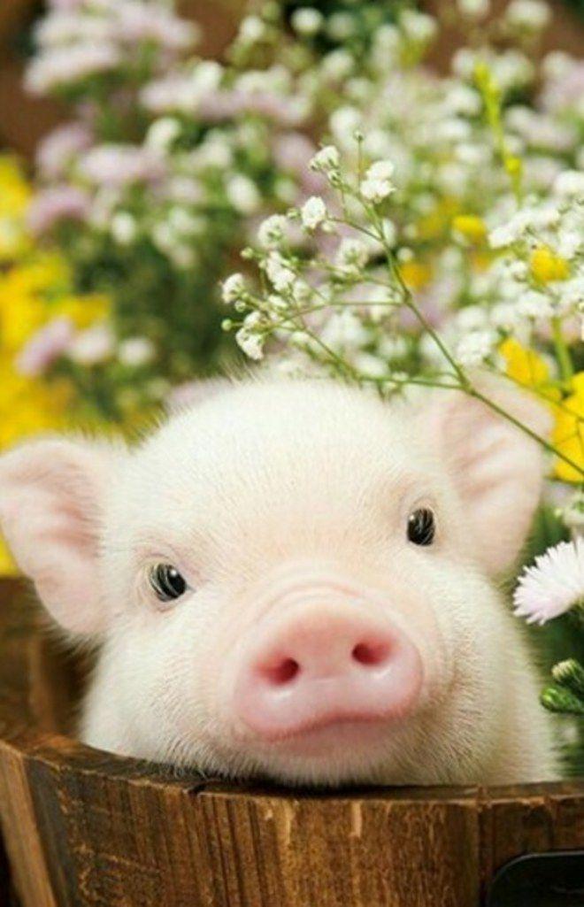 cute animals pig piglet animal cutest pigs piglets flowers micro cutie piggy pet pets babies piggies teacup mini read sofeminine