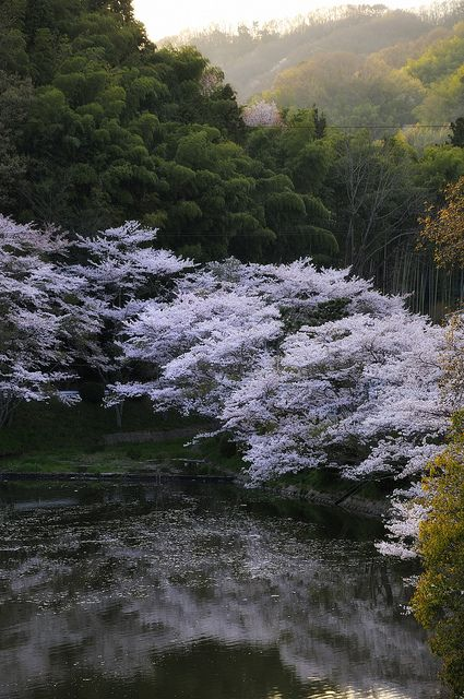 Cherry tree in full bloom, Tokkuri Lake, Nara, Japan