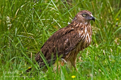 NZ hawk pictures - Google Search