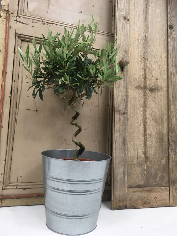 Our miniature twisted olive trees are great for decorating for Olive trees for sale
