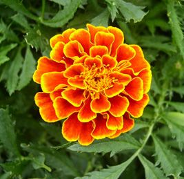 Speaking of vision, deep orange marigold petals are an excellent source of lutein and zeaxanthin, two phytochemicals associated with eye hea...