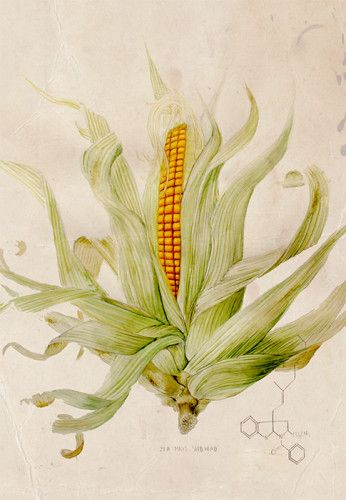 Taxonomy of Modern Corn. (c) Monsanto. Watercolour, graphite and ink on paper 69 x 76cm