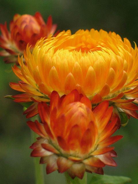 383 best yellow and orange flowers images on pinterest yellow hellichrysum mightylinksfo