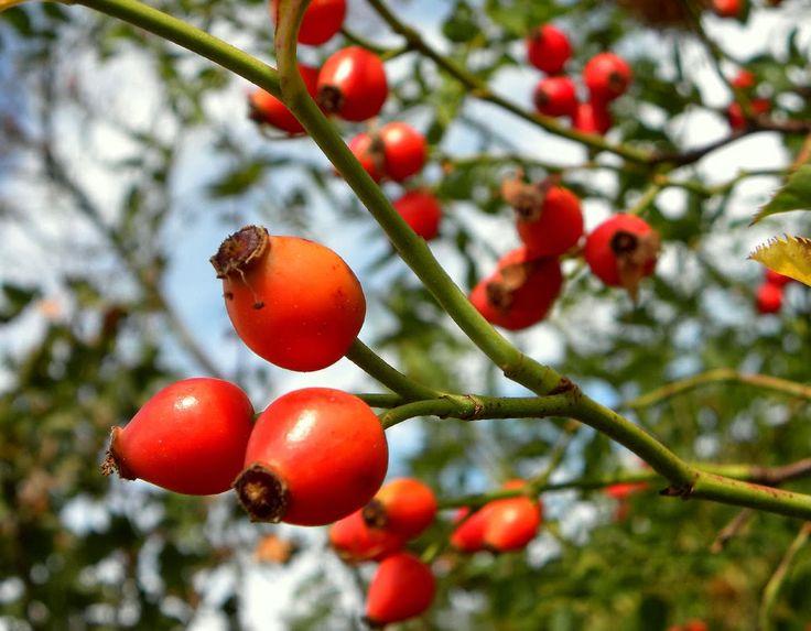 Gyógynövény, de mire jó? A vadrózsa azonban elsősorban gyógynövény, s mint ilyen is igen közkedvelt. Gyerekkorunk óta mindannyian tudjuk, hogy teája jót tesz, ha megfáztunk. Azonban a korszerű kutatások már az is igazolták, hogy miért van ez így: áltermése, a csipkebogyó vitamin és ásványi anyag tartalma miatt kiváló ellenállás fokozó, immunerősítő, egészségfenntartó szer.Legértékesebb hatóanyaga a C-vitamin, amelyet nagyobb mennyiségben tartalmaz, mint bármely más vad vagy termesztett…